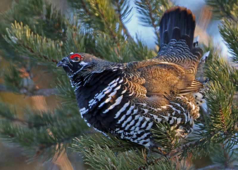 Spruce Grouse<br /> Ely, MN
