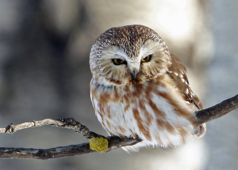 Northern Saw-whet Owl<br /> Sax-Zim Bog, MN