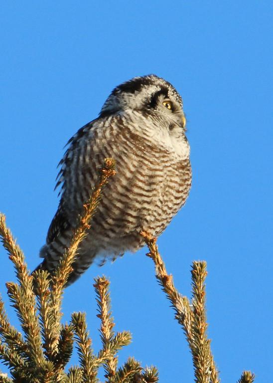 Northern Hawk Owl<br /> Duluth, MN