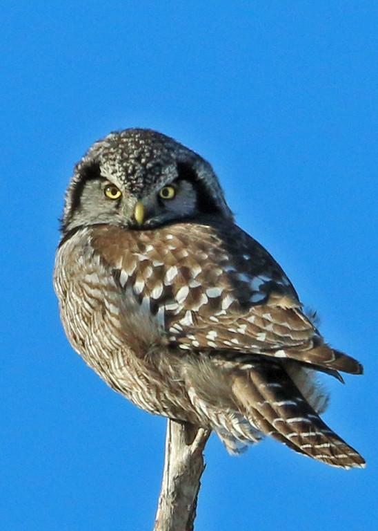 Northern Hawk Owl<br /> Sax-Zim Bog, MN