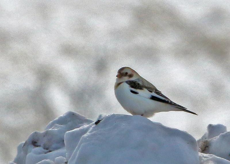Snow Bunting<br /> Sax-Zim Bog, MN
