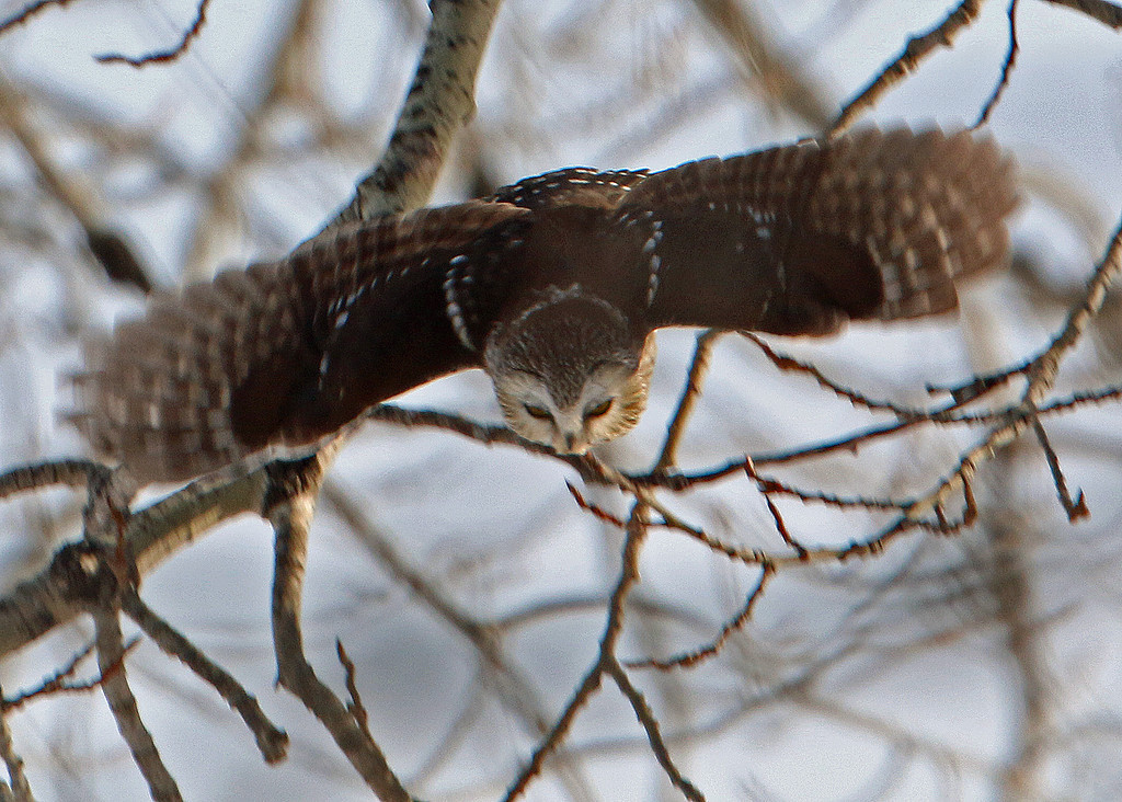 Northern Saw-whet Owl<br /> Sax-Zim Bog, MN