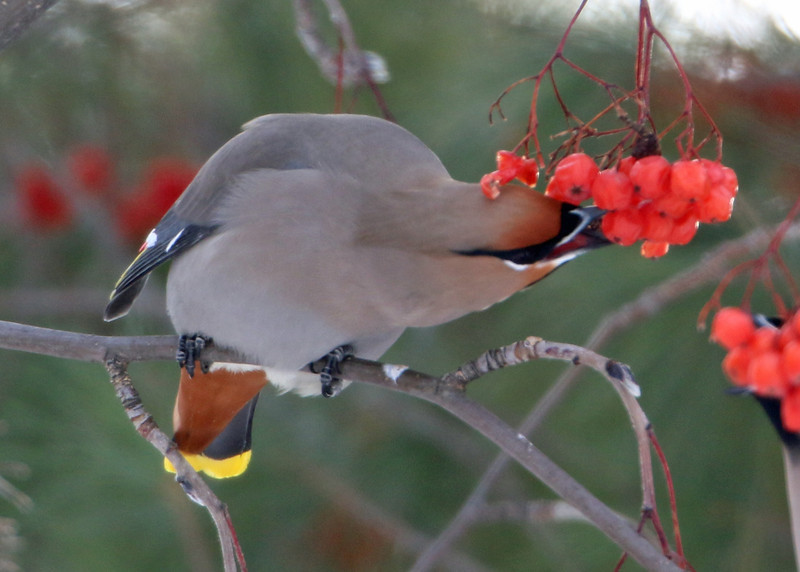Bohemian Waxwing<br /> Ely, MN