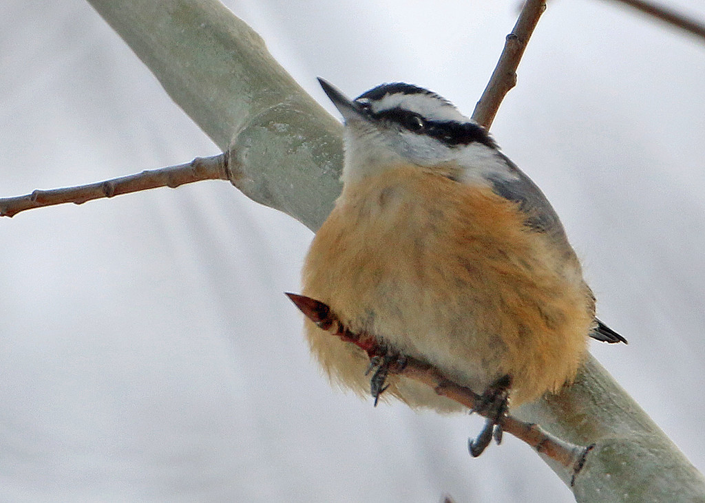 Red-breasted Nuthatch<br /> Sax-Zim Bog, MN