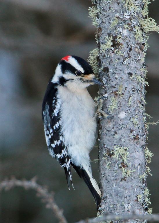 Downy Woodpecker<br /> Sax-Zim Bog, MN