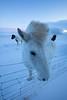 Icelandic ponies in the snow