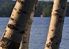 Sailing through the birches