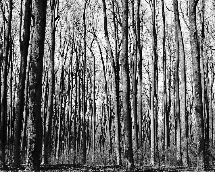 Shenandoah National Park. Tri-X medium format. Apr 2017.