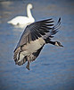 Canada Goose over Mississippi River in Monticello, Minnesota, #0606