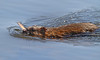 #0340-Muskrat in Grass Lake, Shoreview, Mn