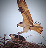 Male (XA) and female osprey at Bucher Park, Shoreview, Mn., #0686
