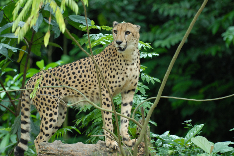 """Alert Cheetah at the Zoo.<br /> The Singapore Zoo (Chinese: 新加坡动物园 ; Malay: 'Taman Haiwan Singapura'; Tamil: சிங்கப்பூர் விலங்குக் காட்சிச்சாலை), formerly known as the Singapore Zoological Gardens and commonly known locally as the Mandai Zoo, occupies 28 hectares (0.28 km²) of land on the margins of Upper Seletar Reservoir within Singapore's heavily forested central catchment area.<br /> There are about 315 species of animal in the zoo, of which some 16% are considered threatened species. The zoo attracts about 1.4 million visitors a year.   <a href=""""http://www.zoo.com.sg/"""">http://www.zoo.com.sg/</a>"""