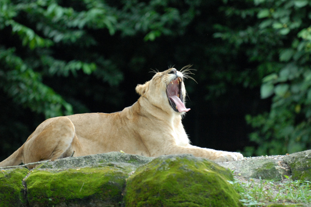 """Lioness at the Singapore Zoo.<br /> The Singapore Zoo (Chinese: 新加坡动物园 ; Malay: 'Taman Haiwan Singapura'; Tamil: சிங்கப்பூர் விலங்குக் காட்சிச்சாலை), formerly known as the Singapore Zoological Gardens and commonly known locally as the Mandai Zoo, occupies 28 hectares (0.28 km²) of land on the margins of Upper Seletar Reservoir within Singapore's heavily forested central catchment area.<br /> There are about 315 species of animal in the zoo, of which some 16% are considered threatened species. The zoo attracts about 1.4 million visitors a year.   <a href=""""http://www.zoo.com.sg/"""">http://www.zoo.com.sg/</a>"""