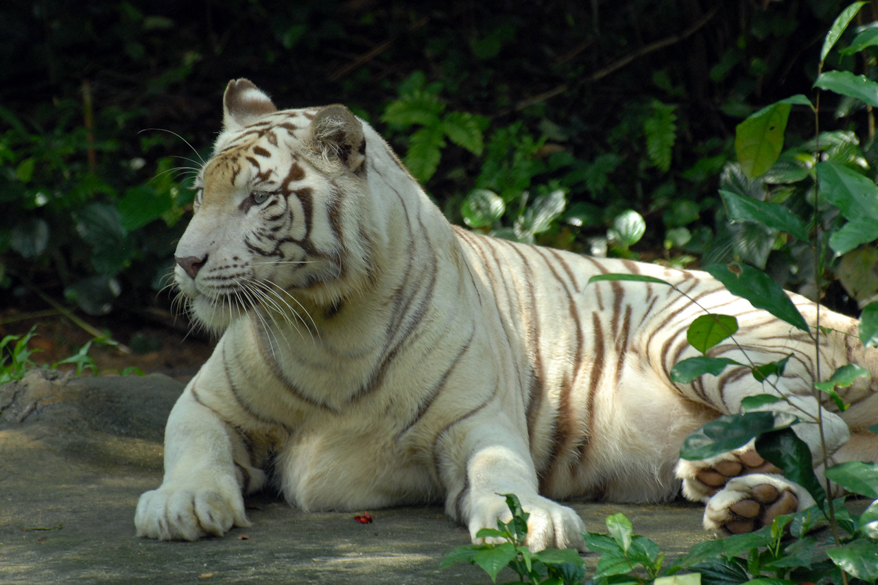"""White Tiger<br /> <br /> In the wild, Bengal White Tigers are found exclusively within South Asia, notably in India. Although Bengal tigers make up 60% of the world's wild tiger population, individuals with white coats are indeed very rare. Only one White Tiger exists out of every 10,000 normal orange-coloured tigers. <br /> <br /> The Singapore Zoo (Chinese: 新加坡动物园 ; Malay: 'Taman Haiwan Singapura'; Tamil: சிங்கப்பூர் விலங்குக் காட்சிச்சாலை), formerly known as the Singapore Zoological Gardens and commonly known locally as the Mandai Zoo, occupies 28 hectares (0.28 km²) of land on the  Upper Seletar Reservoir within Singapore's heavily forested central catchment area. There are about 315 species of animal in the zoo, of which some 16% are considered threatened species. The zoo attracts about 1.4 million visitors a year.   <a href=""""http://www.zoo.com.sg/"""">http://www.zoo.com.sg/</a>"""