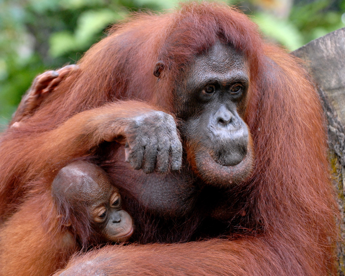 """He's all mine!<br /> <br /> Kisses for the baby.<br /> Orang Utan at Singapore Zoo.<br /> The Singapore Zoo displays a large social group of 25 orang utans in a spacious naturalistic enclosure. Though not the only zoo in the world to display a social group of orang utans, we are the only ones who have done so on such a large scale. Orang utans are arboreal mammals who spend most part of their lives eating, sleeping, nesting and traveling in the trees. They feed on fruits, leaves, seeds, bark and insects of the rainforest. There are two species of orang utans, namely the Bornean and the Sumatran.  <a href=""""http://www.zoo.com.sg/spotlight/orangutan.htm"""">http://www.zoo.com.sg/spotlight/orangutan.htm</a>"""