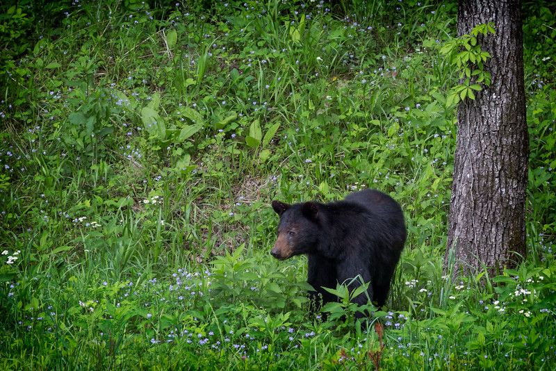 Black Bear in Meadow