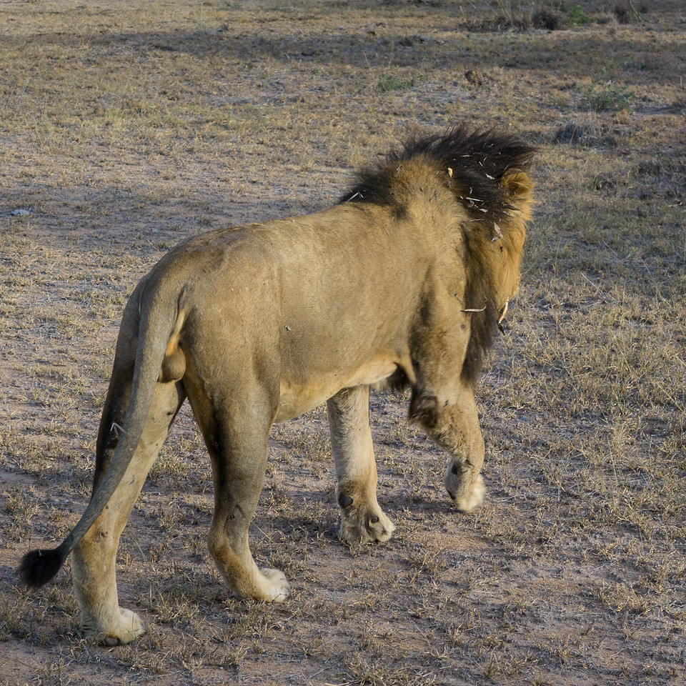 Definitely a Male Lion