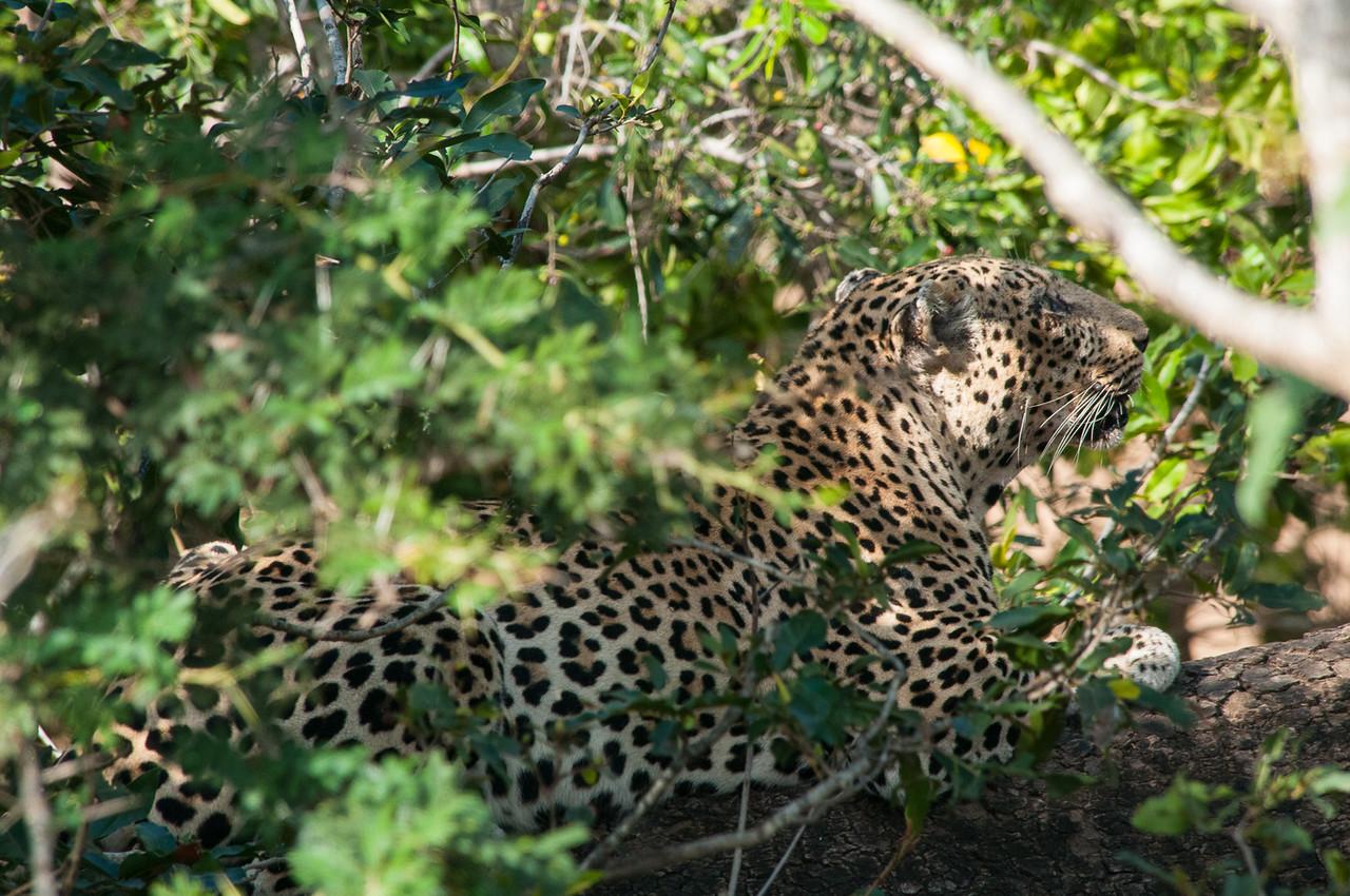 Alert Male Leopard
