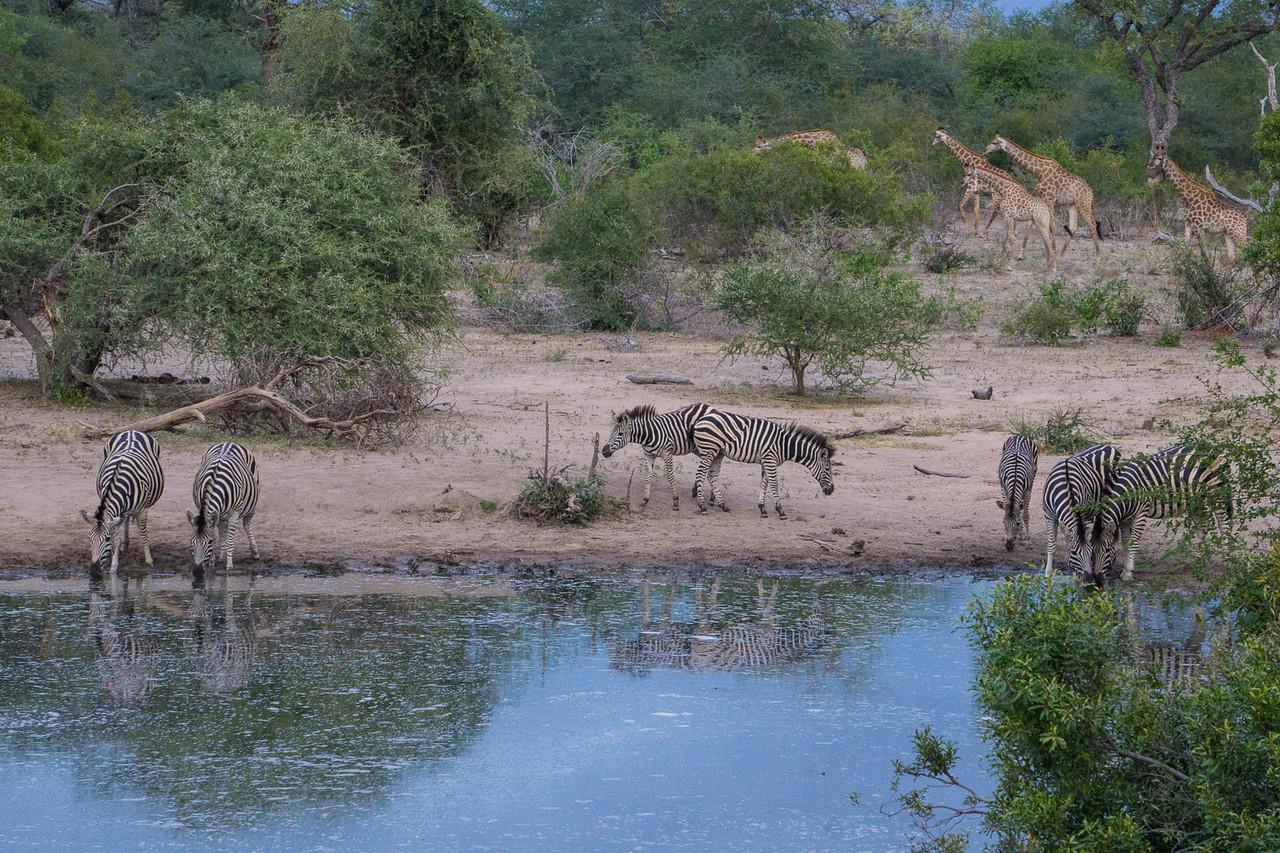 Zebras and Giraffes in the Bush