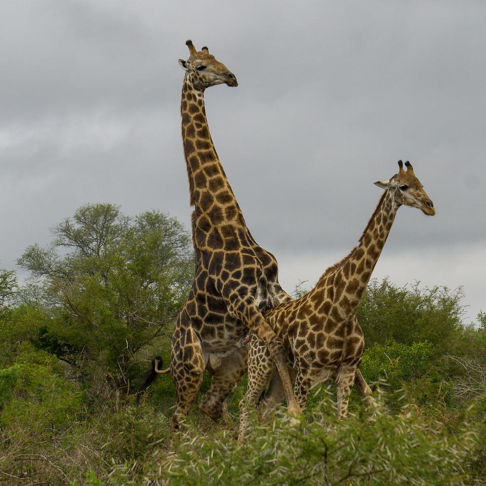 Mating Giraffes 2