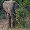 Munching elephant