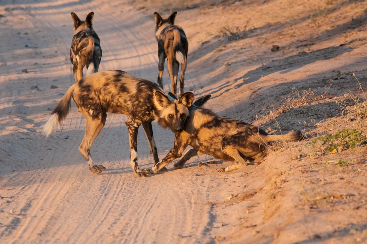 4 Wild Dogs