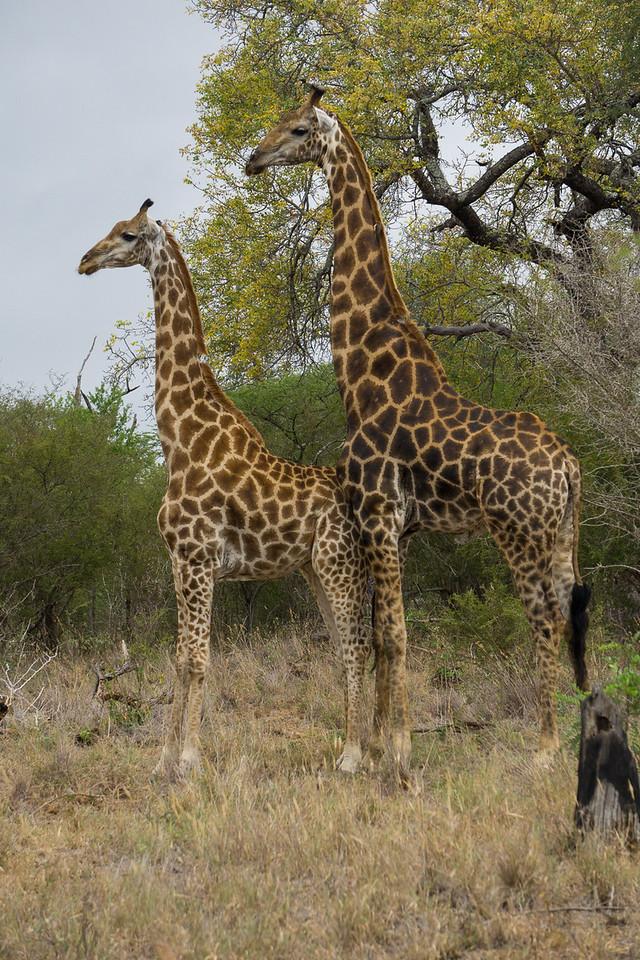 Two Giraffes Posing