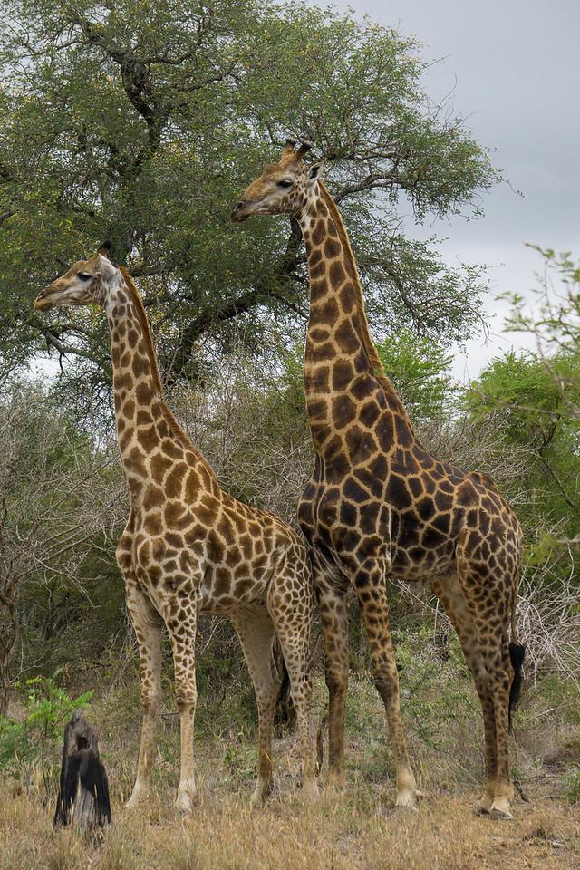 Two Giraffes Posing 2