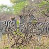 Zebras On Alert_