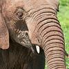 Elephant Headshot