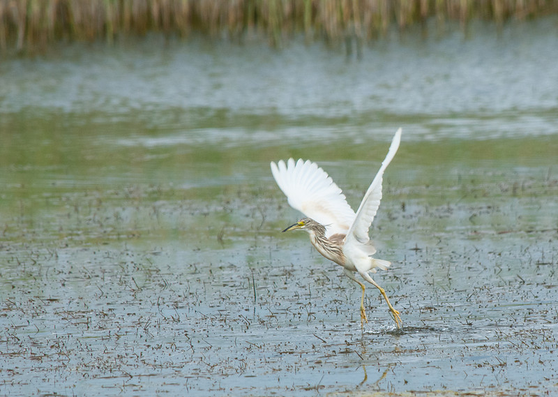 Squacco Heron_