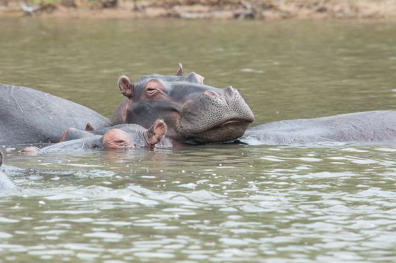 Hippo Whiskers