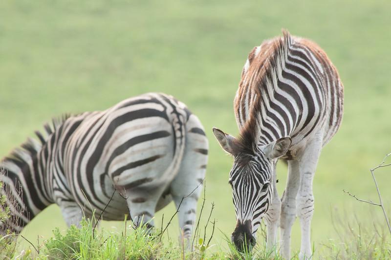 Burchell's Zebras Grazing