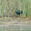 African Purple Swamphen_