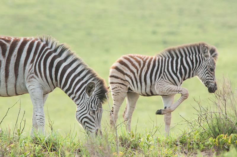 Mom and Baby Zebra