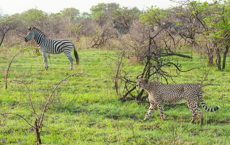Cheetah and Zebra 2