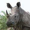 White Rhino Up Close--very Close