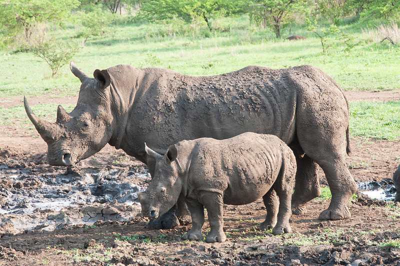 Mama and Baby White Rhino