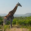 Posing Giraffe