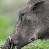Warthog Headshot
