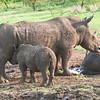 Nursing Baby Rhino