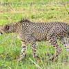 Prowling Male Cheetah_