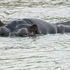 Incognito Hippo
