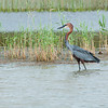 Goliath Heron on the Hunt