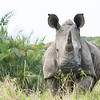 White Rhino Head On-2