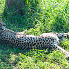 Lazing Male Cheetah_