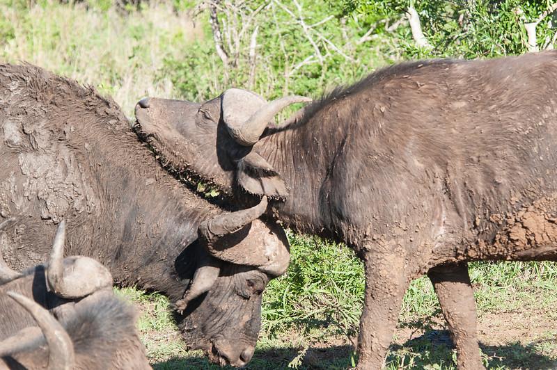 Snuggling Buffalo
