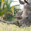 Male Rhino Blocking Female from us