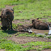 Chillin' Warthogs