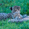 Cheetah Mama and cubs lazing 1